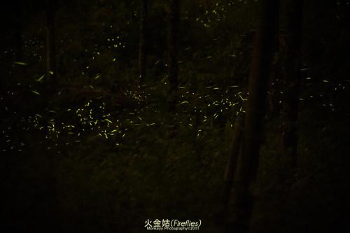 古坑華山螢火蟲#2