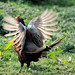 Small photo of Pheasant