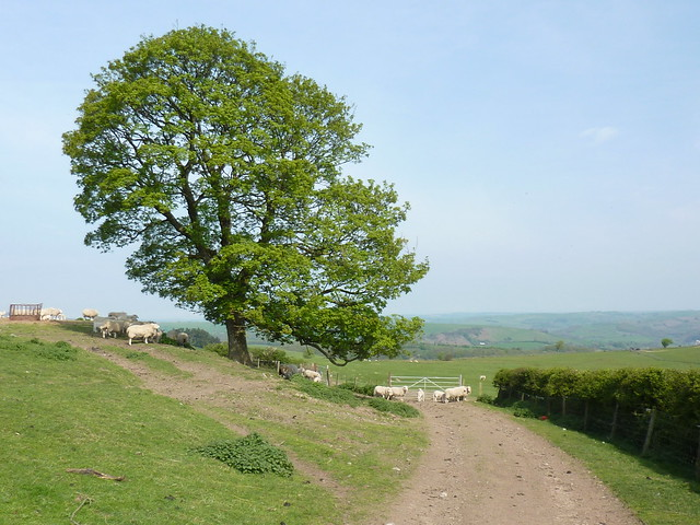 Sheep and a tree