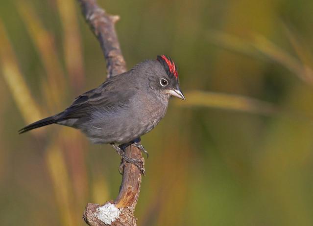 Tico-tico-rei-cinza (Pileated Finch)