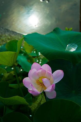 pink summer flower macro june japan lotus saitama istock crazyshin earlysummer 2011 gyoda nikond3 古代蓮の里 縦 行田 order500 afsnikkor28300mmf3556gedvr dsa6690 istock2 2014flowerselect縦