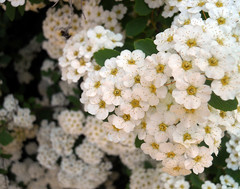yarrow, blossom, shrub, flower, plant, flora,