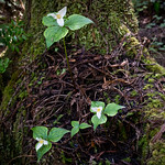 Several trillium growing out of tree trunk