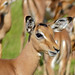 Small photo of Impala (Aepyceros melampus) young male