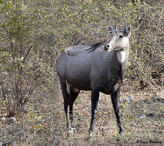 Ranthambore Natl Park, India 2011