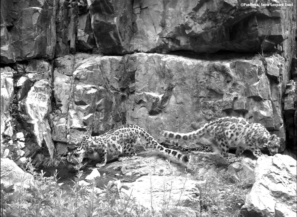 Tenger the snow leopard takes a drink as Zara sniffs around
