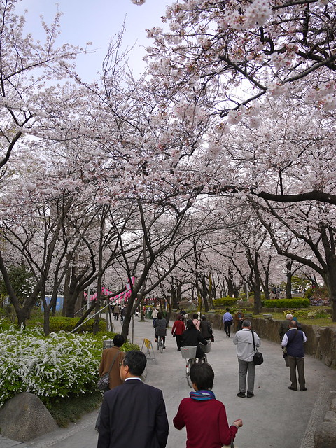 Sakura at Sumida River