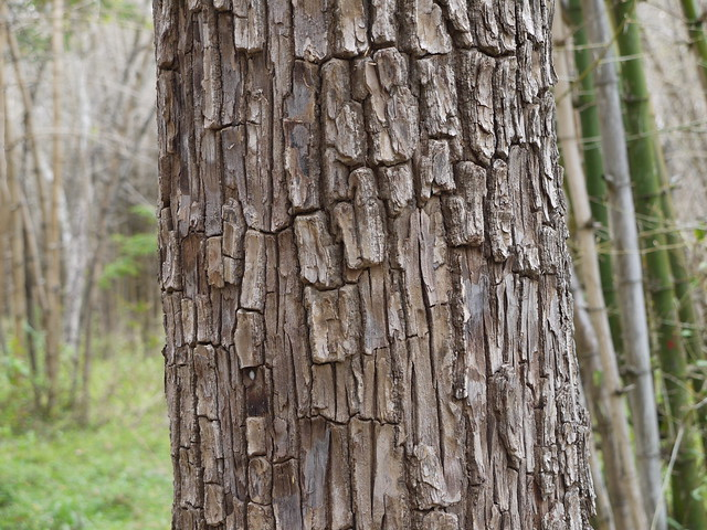 Crocodile-bark tree