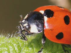 ladybird cleaning face