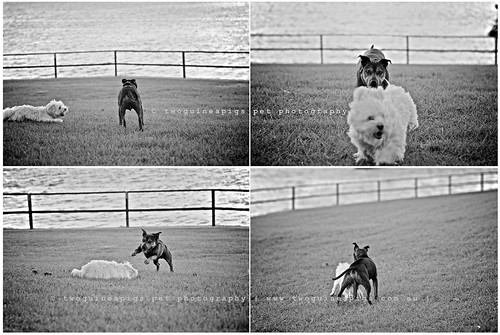 Play 1 by twoguinepaigs pet photography