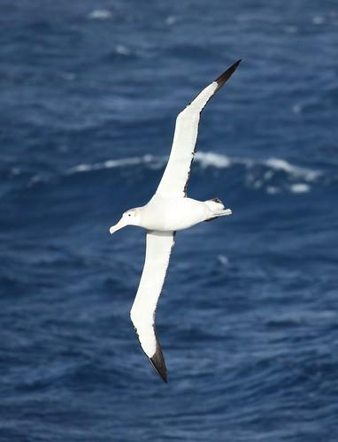 Wandering Albatross flying over the South Atlantic