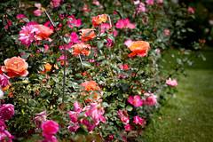 rosa wichuraiana, annual plant, shrub, garden roses, floribunda, flower, garden, plant, flora,