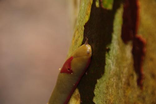 權威性的世界物種保育聯盟(IUCN)瀕危物種紅色名錄又新增了螢光粉紅色蛞蝓等物種(Triboniophorus)。(來源:Richard Potts)