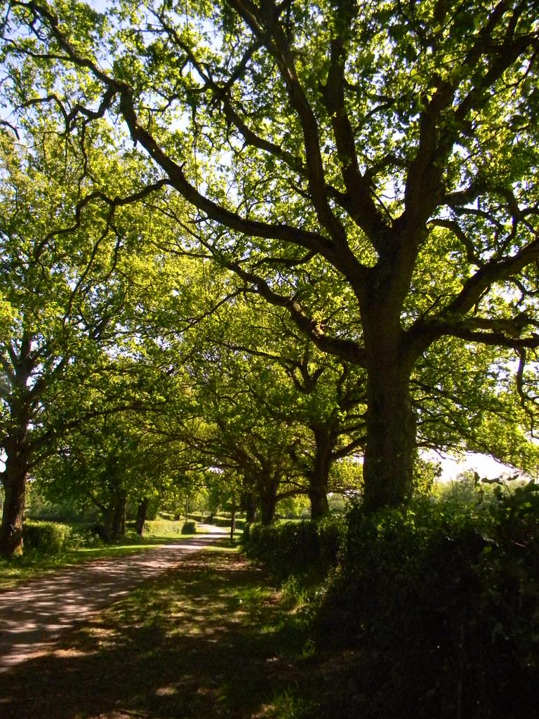 hedgerow trees Ockley to Warnham