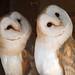 barn owls by dolts007