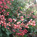 coral bells (Heuchera) by nowhereonearth