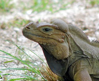 Mona Ground Iguana / Iguana de Mona