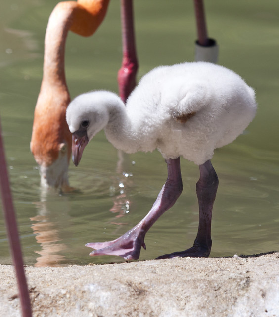 Early Steps For This Baby Flamingo Flickr Photo Sharing
