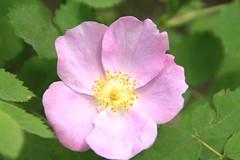 floribunda(0.0), annual plant(1.0), blossom(1.0), garden roses(1.0), flower(1.0), rosa gallica(1.0), plant(1.0), rosa rubiginosa(1.0), macro photography(1.0), rosa canina(1.0), flora(1.0), rosa acicularis(1.0), rosa pimpinellifolia(1.0), rosa rugosa(1.0), petal(1.0),
