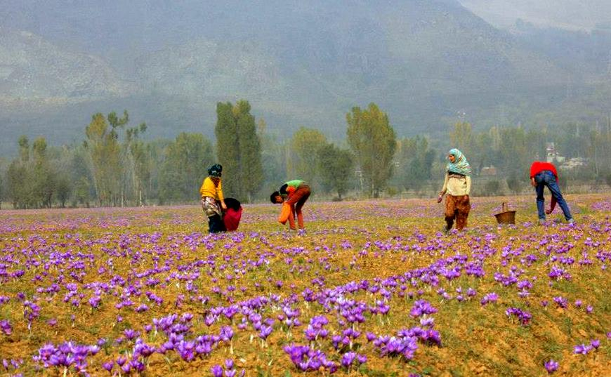 saffron fields of pampore