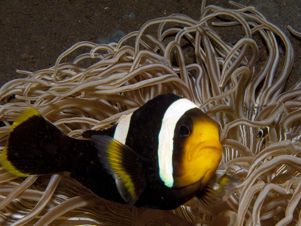 Amphiprion polymnus