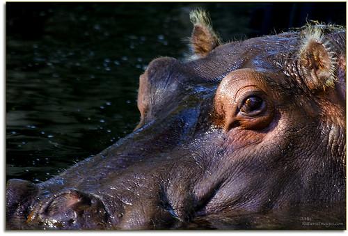 closeup wildlife parks captive 100400mm professionalphotographer stateparks hippopotamous floridaimages photoworkshops phototours phototourguide jmwnaturesimagescom homosassaspringssp
