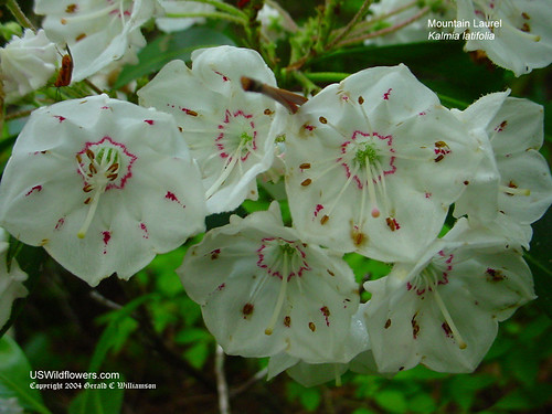 Mountain Laurel - Kalmia latifolia by USWildflowers