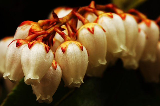 Lily Of The Valley Shrub