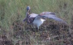 Tricolored Heron, Merritt Island NWR, FL