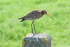 Black-tailed Godwit - Meadows near Leiden, The Netherlands by David d'O