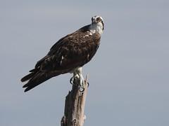 Osprey, Viera Wetlands, Melbourne, FL