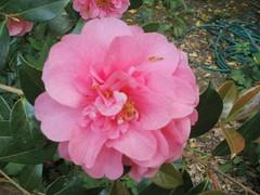 shrub(0.0), rosa 㗠centifolia(0.0), camellia(1.0), camellia sasanqua(1.0), floribunda(1.0), flower(1.0), plant(1.0), camellia japonica(1.0), theaceae(1.0),