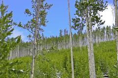 Little Trees, Big Trees