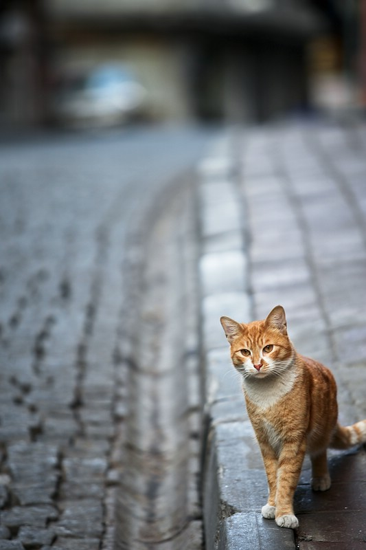 Cats from Istanbul