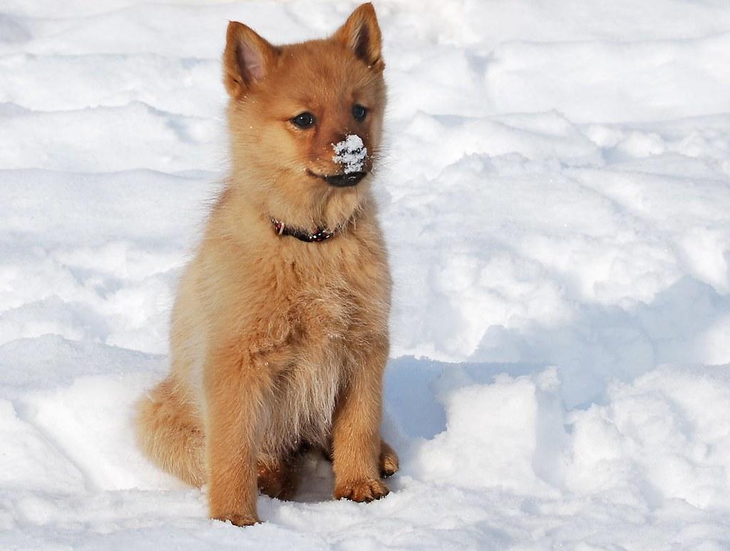 Finnish spitz puppy - a photo on Flickriver
