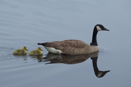 Goslings-In-Trail