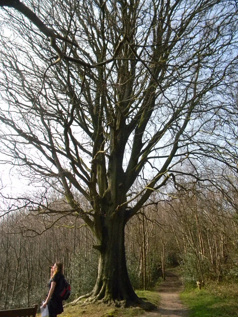 big tree Sevenoaks to Westerham