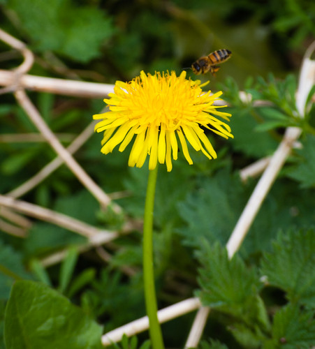 Dandelion flower with a honey bee