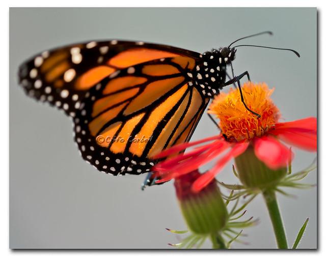 Papillon monarque jardin botanique de montr al by for Papillon jardin botanique 2015