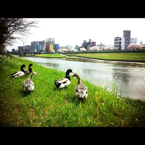 family bird river spring snap osampo kumamoto 熊本 春 お散歩 河岸 iphone4
