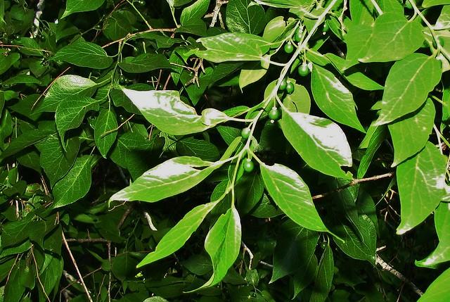 Celtis occidentalis - Hackberry IMG_1076