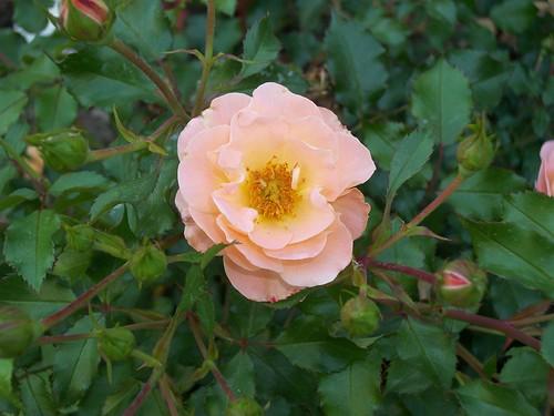 Amber Carpet Rose