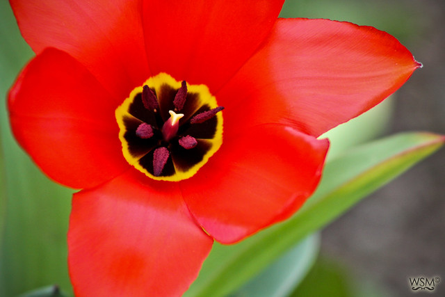 Red flower in Walled Garden, Farmleigh - Phoenix Park, Dublin IE