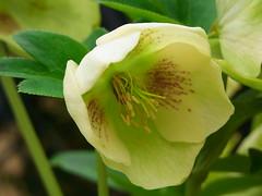 flower, plant, macro photography, hellebore, flora, plant stem, petal,