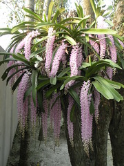Fri, 04/15/2011 - 17:10 - This is a very beautiful orchid of Assam.People call it Kapou