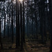 Small photo of Forest sun