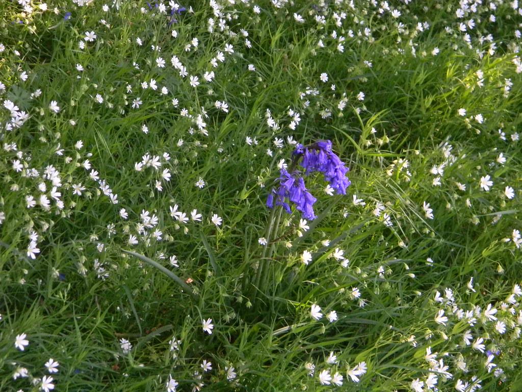 Bluebells in stitchwort Ockley to Warnham