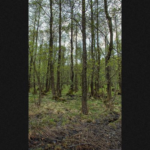 spring kitlens midday hdr varberg alder halland alnusglutinosa betulaceae blackalder långanskogen byasjön dagsås