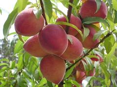Peaches through the netting