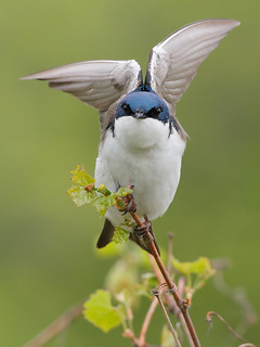 Thank you Tree Swallows